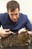 Male Veterinary Surgeon Examining Cat In Surgery Royalty Free Stock Images