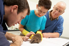 Male Veterinary Surgeon Examining Rescued Hedgehog. In Surgery Stock Photos