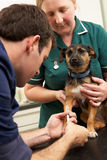 Male Veterinary Surgeon And Nurse Examining Dog. In Surgery Royalty Free Stock Image