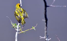 Male Village Weaver Bird - Eastern Cape, South Africa. This male village weaver is in his breeding plumage and displaying near the nest he has been building Royalty Free Stock Photography