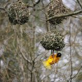 Male Village weaver Ploceus cucullatus, also known as the spot. Ted-backed weaver or black-headed weaver,building its distinctive woven nest Royalty Free Stock Photos