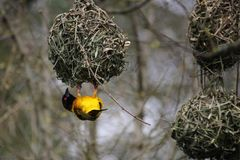Male Village weaver Ploceus cucullatus, also known as the spot. Ted-backed weaver or black-headed weaver,building its distinctive woven nest Stock Photo
