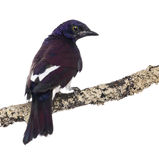 Male Violet-backed Starling on a branch Royalty Free Stock Images