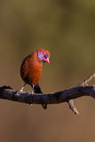 Male Violet-eared Waxbill. Perched on twig; Granatina granatina royalty free stock images