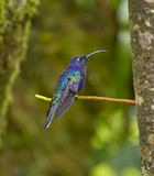 Male violet sabrewing. (Campylopterus hemileucurus) in Monteverde (Puntarenas, Costa Rica Stock Photos