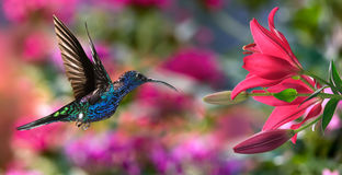 Male violet sabrewing (Campylopterus hemileucurus) in flight Stock Image