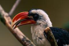 Von der Decken`s hornbill. Male Von der Decken`s hornbill Tockus deckeni close up. Antwerp Zoo, Belgium Royalty Free Stock Photography