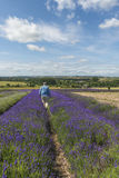 A male walking through lavender field. In the summer Stock Image
