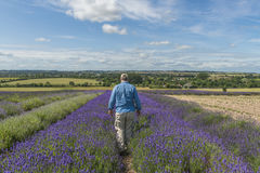 A male walking through lavender field. In the summer Stock Photo