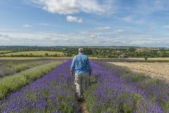 A male walking through lavender field Stock Photo