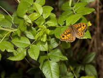 Male wall brown butterfly Royalty Free Stock Image