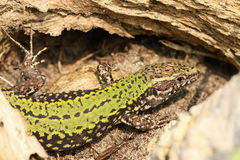 A male Wall Lizard Podarcis muralis hiding in the undergrowth. royalty free stock photography