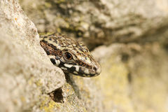 A male Wall Lizard Podarcis muralis poking his head out of a stone wall. Royalty Free Stock Image
