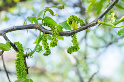 Male walnut flowers. In the spring Stock Image