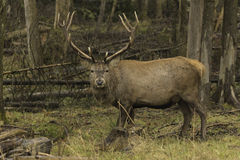 Male wapiti in a forest environment Stock Images