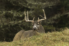 Male wapiti lying down in a field. In fall Royalty Free Stock Images