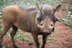 Male warthog Stock Images