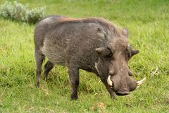 Male Warthog. A male warthog (Phacochoerus africanus - African Lens-Pig) with large tusks Stock Image