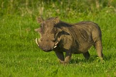 Male Warthog. A male warthog stands ready to run Royalty Free Stock Image