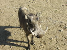 Male Warthog close up Stock Image