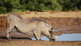 Male warthog drinking stock footage