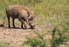 Male Warthog in grass. Male warthog with large tusks in grassy area Stock Image