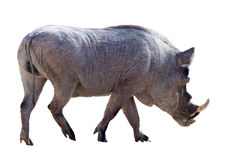 Male warthog. Isolated over white Stock Photography
