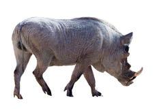 Male warthog. Isolated over white. Male warthog (Phacochoerus africanus). Isolated over white background Stock Photography