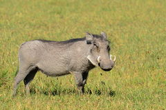Warthog. Male of warthog in Khama reservation in south of Botswana Royalty Free Stock Image