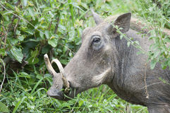 Male warthog in Kruger Park. Male warthog with big tusks in Kruger Park Stock Image