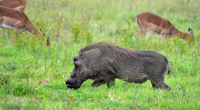 Male warthog royalty free stock photo