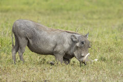 Male Warthog (Phacochoerus africanus) feeding on knees Royalty Free Stock Photo