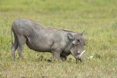 Male Warthog (Phacochoerusafricanus) som matar på knä Royaltyfri Foto