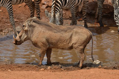 Male Warthog profile. Male Warthog meets at the watering hole to drink Royalty Free Stock Photo