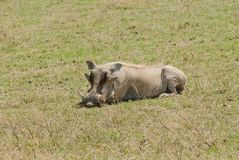 Male warthog resting on the savannah. In Ngorongoro National park Royalty Free Stock Images