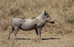 Male Warthog in the Serengeti. National Reserve, Tanzania, Africa Royalty Free Stock Photo