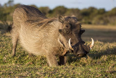 Male Warthog with Tusks. Male warthog with large dangerous tusks and snout Royalty Free Stock Photos