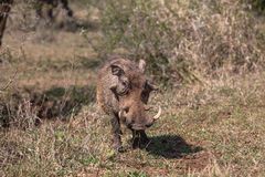 Warthog Animal Wildlife. Male warthog animal with broken tusk showing its years in the animal wild park reserve Stock Photography