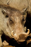 Male warthog. In the zoo Stock Images