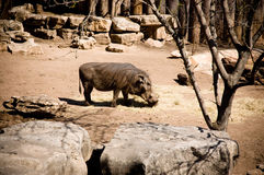 Male Warthog at the Zoo Stock Photo