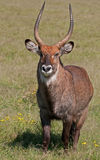 Male Water Buck, Kenya. A male water buck at Lake Naivasha Safari Park in Kenya Stock Photos