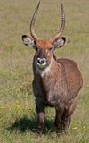 Male Water Buck, Kenya stock photos