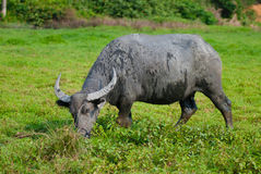 A male water buffalo. Are eating grass in grassplot Stock Photography
