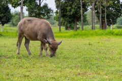 A male water buffalo calf eating grass in the field. Chiang Mai, Thailand Stock Image