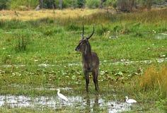 Male Waterbuck. (Kobus ellipsiprymnus), Moremi National Park, Botswana Stock Photos