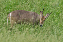 Male Waterbuck Stock Photos