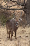 Male Waterbuck Royalty Free Stock Photos