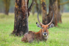 Male waterbuck Stock Photo