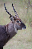 Male Waterbuck. A portrait of a male waterbuck with beautiful horns Stock Images