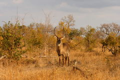 male waterbuck Royaltyfri Fotografi